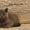Британские элитные котята из питомника г.Иваново #477194
