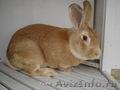 Кролики великаны,  кролики декоративных и мясных пород