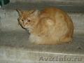 Найдена рыжая кошка / кот