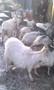 Продаю дойных коз и козликов