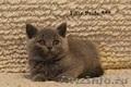 Британские элитные котята из питомника г.Иваново, Объявление #477194