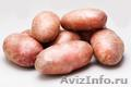 КХ «Нива» уже давно зарекомендовало себя как качественного производителя картофе - Изображение #2, Объявление #1406541