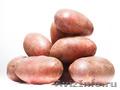 Элитный семенной картофель отличного качества