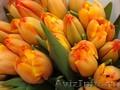 Тюльпаны к 8 марта 2018 от производителя.более 25 сортов