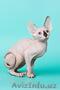 Котята породы канадсий сфинкс - Изображение #2, Объявление #436901